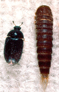 Black Carpet Beetle Larvae Uk Www Resnooze Com